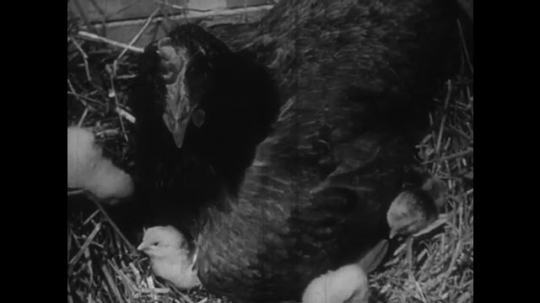 UNITED STATES: 1950s: Chicken sits on newly hatched chicks. Chicks and chicken leave coop. Chicks peck food from ground