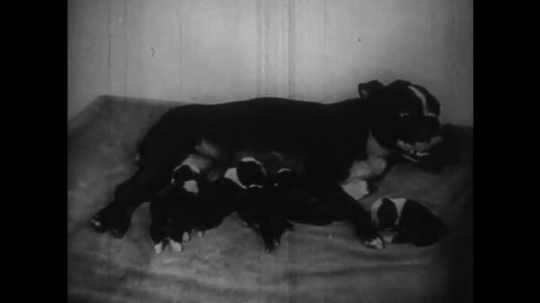 UNITED STATES: 1950s: Puppies suckle from mother. Dog pants as she feeds puppies. Dog licks puppy