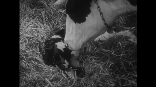 UNITED STATES: 1950s: Cow washes new born calf.