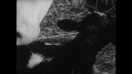 UNITED STATES: 1950s:Mother washes new born cow. Newborn cow tries to stand.