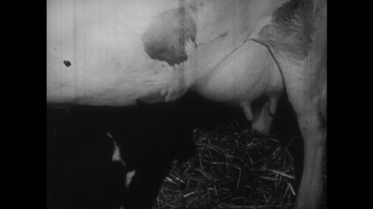 UNITED STATES: 1950s: Cow directs newborn calf towards udders to feed. Calf drinks milk from mother.
