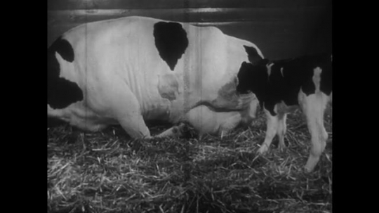 UNITED STATES: 1950s: Cow sits down on ground after giving birth. Calf sits next to mother.