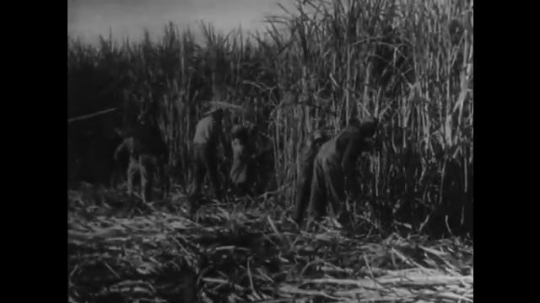 UNITED STATES: 1950s: Workers cutting down sugar cane in field. Ladies cut sugar cane in field with knives. Machines load up freshly cut sugar cane.