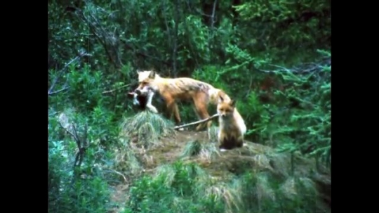 ALASKA, UNITED STATES: 1980s: Red fox with cub in forest. Red foxes playing in woods.