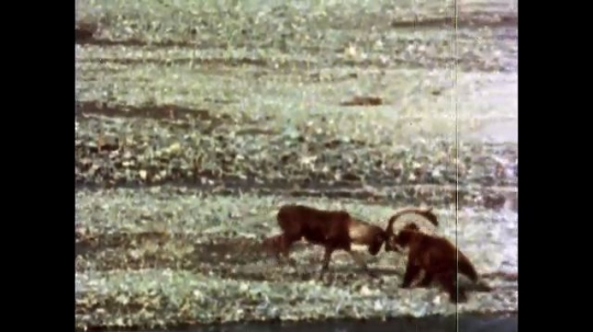 ALASKA, UNITED STATES: 1980s: Caribou attacks bear with horns. Bear takes down caribou. Bears eat caribou by river.