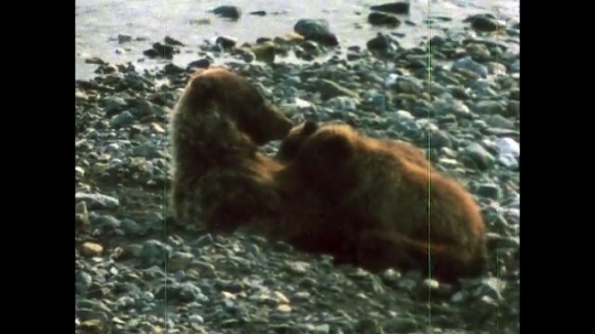 ALASKA, UNITED STATES: 1980s: Bear feeds cubs by river. Humans next to river. Caribou walk up mountain.