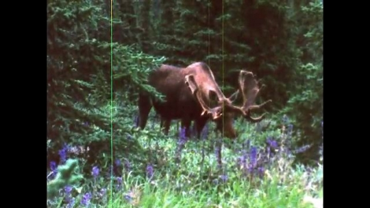 ALASKA, UNITED STATES: 1980s: Alaskan bull caribou with antlers eats in forest.