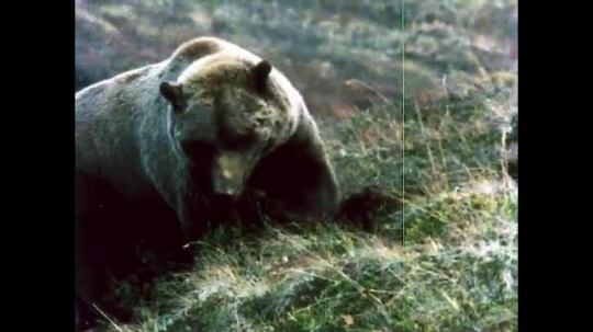 ALASKA, UNITED STATES: 1980s: Bear looks for Arctic ground squirrel. Magpie disturbed by bear.