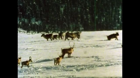 ALASKA, UNITED STATES: 1980s: Denali caribou herd in snow. Caribou dig snow with hooves.