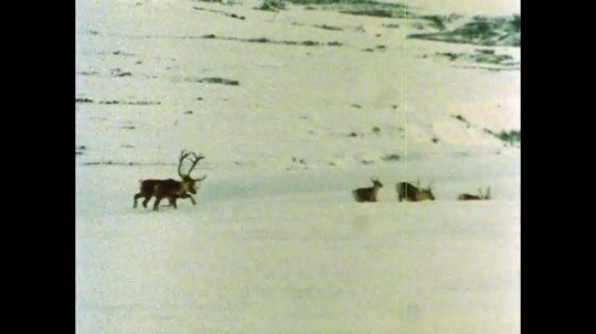 ALASKA, UNITED STATES: 1980s: Caribou escape after wolf chase during migration. Snowshoe Hare behind tree