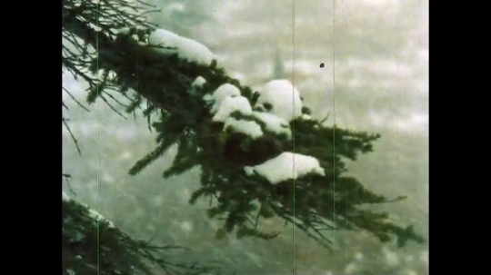 ALASKA, UNITED STATES: 1980s: Snow on tree branches. Moose after end of rutting season