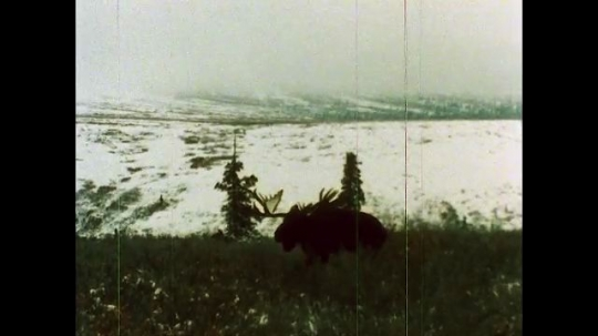 ALASKA, UNITED STATES: 1980s: Injured moose on pasture in winter. Wolves search for moose