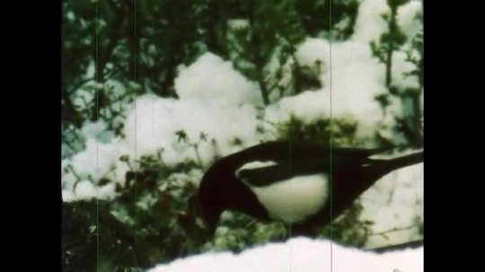 ALASKA, UNITED STATES: 1980s: Magpie eats meat in snow. Wolves eat dead moose.