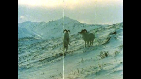 ALASKA, UNITED STATES: 1980s: Dhal sheep fight in snow. Dhal sheep dig ground for food.