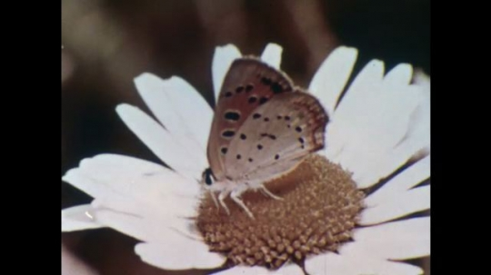 UNITED STATES, 1956: Butterfly pollinates flower.