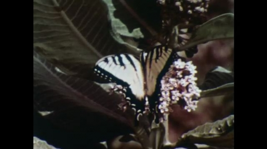 UNITED STATES, 1956: Butterfly and bee pollinate flowers.