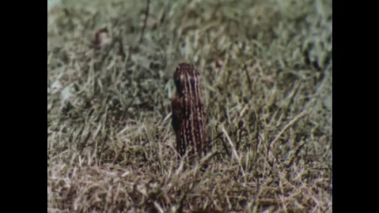 UNITED STATES, 1956: Chipmunk stands in grass and hides.