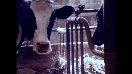 UNITED STATES, 1973: Cows chew hay and caterpillars eat leaves.