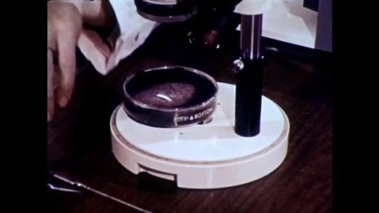 UNITED STATES, 1973: Insect in Pyrex dish is viewed under microscope.