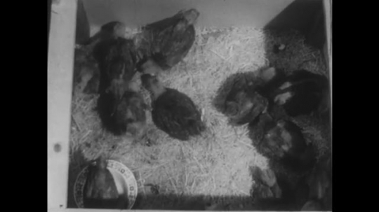 UNITED STATES 1940s: High angle view, chickens in pen, number appears over image.