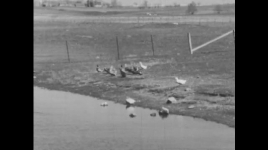 UNITED STATES: 1940s: Ducks walking in to a pond. Ducks swimming, Duckling outdoors. Ducklings walk to the edge of pond.