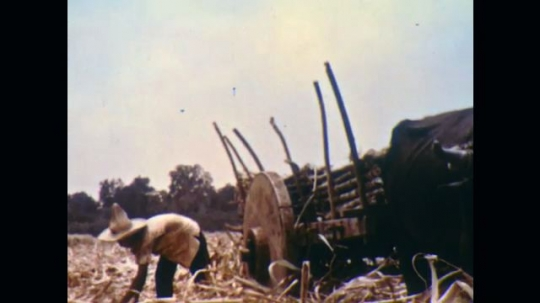 UNITED STATES, 1950s: Man loading cart with sugar cane. Cow and cart in a village. Two men empty container of sugar on to counter.