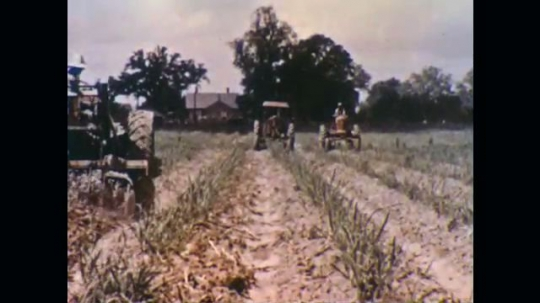 UNITED STATES, 1950s: Two tractors driving along furrows in a sugar cane field.