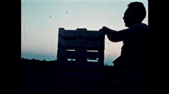 UNITED STATES, 1950s: Man carries wooden crates. Man driving a tractor. Branches against a setting sun. Strawberries in a box.