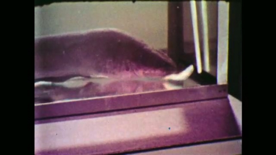 UNITED STATES: 1950s: Electric eel in tank eats stunned fish. Man puts glove on hand. Man talks to camera in science lab. Man uses net to catch electric eel in tank,