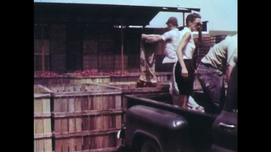 UNITED STATES: 1950s: workers empty sacks of vegetables into container. Cows in parlor. Two men talk