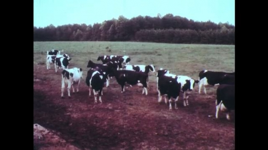UNITED STATES: 1950s: dairy cows in field. Cows in milking parlor. Milk delivered by truck. Milkman delivers milk to lady. Cheese and milk delivery