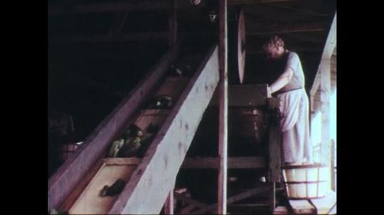 UNITED STATES: 1950s: pickles on conveyor belt. Pickle sorting machine