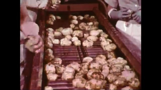 UNITED STATES: 1960s: hand pick up potatoes from machine. Conveyor belt. Potato peeling machine.