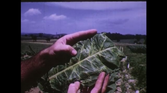 UNITED STATES 1950s: hand inspects tobacco leaf. tobacco field. sheep graze on grass. man works in barn. man exits barn.