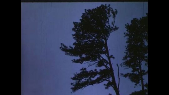 UNITED STATES 1950s: pine tree falls to the ground. men look up and walk in forest.