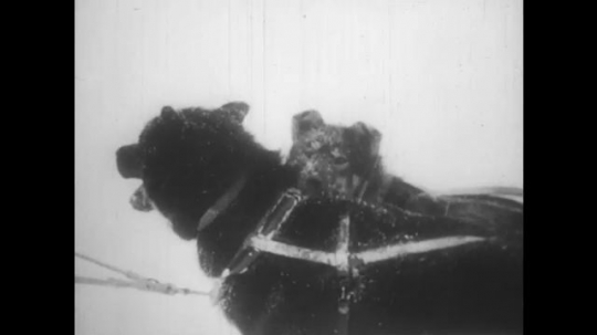 ALASKA: 1930s: huskie dogs in snow. Dog by kennel. Dog barks.