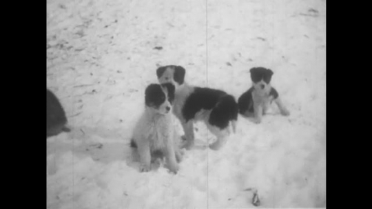 ALASKA: 1930s: puppies in snow. Dog barks in snow. Inuit family exit igloo. Lady sews by child