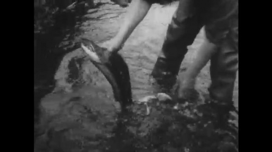 ALASKA: 1930s: man catches fish with hands. Teeth inside fish mouth