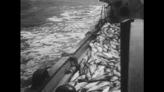ALASKA: 1930s: boat travels across water with fish on deck. Men pull in ropes. View across to mountains. Gulls above water