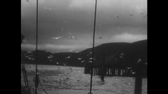 ALASKA: 1930s: view of jetty and gulls from boat. Machine unloads fish to cannery building. Salmon on conveyor