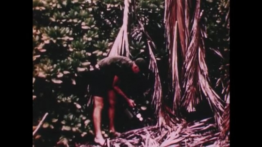 PACIFIC OCEAN: 1940s: man users Geiger counter to record radioactivity on island. Man cuts palm tree. Men collect plant samples