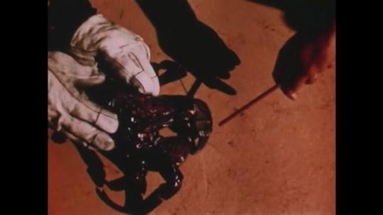 PACIFIC OCEAN: 1940s: hands hold coconut crab. Crab snaps pencil.