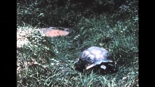 GALAPAGOS: 1950s: giant tortoise looks for food. Iguana swims in ocean