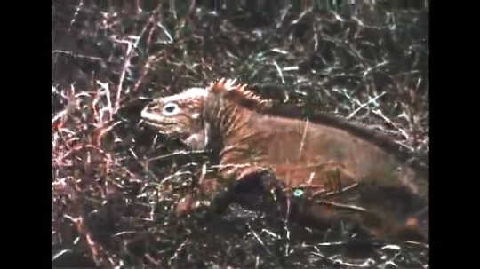 GALAPAGOS: 1950s: iguana walks through plants on ground. Iguana walks across rocks in sea. Marine and Land iguana