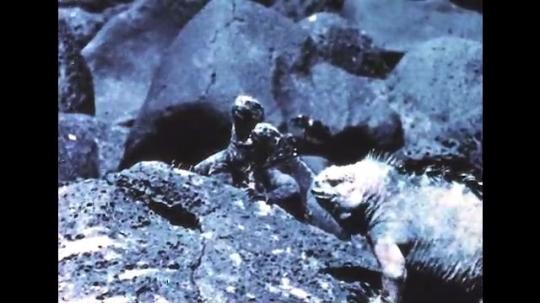 GALAPAGOS: 1950s: iguanas walk across rocks. Variation in iguanas. Iguanas swim in sea.