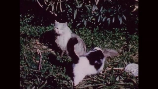 UNITED STATES: 1950s: two cats in garden. Close up of cat's face