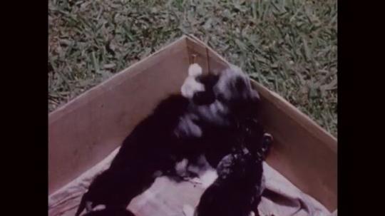 UNITED STATES: 1950s: kittens climb inside cardboard box. Tiny kittens.