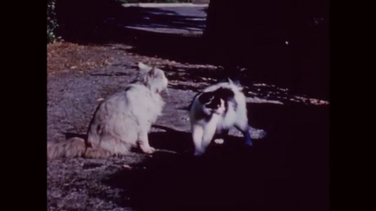 UNITED STATES: 1950s: two cats in garden. Mother cat takes kittens from box. Cat runs off with kitten in mouth