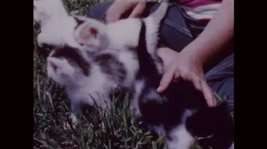 UNITED STATES: 1950s: kittens explore garden. Boy plays with kittens on grass. Boy strokes cat. Boy smiles