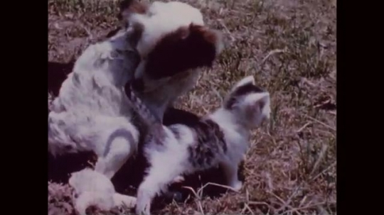 UNITED STATES: 1950s: dog and kittens in garden. Dog lies on ground. Kitten walks across grass